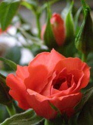 kwiaty dla mamy