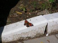 Jaki piekny motyl!